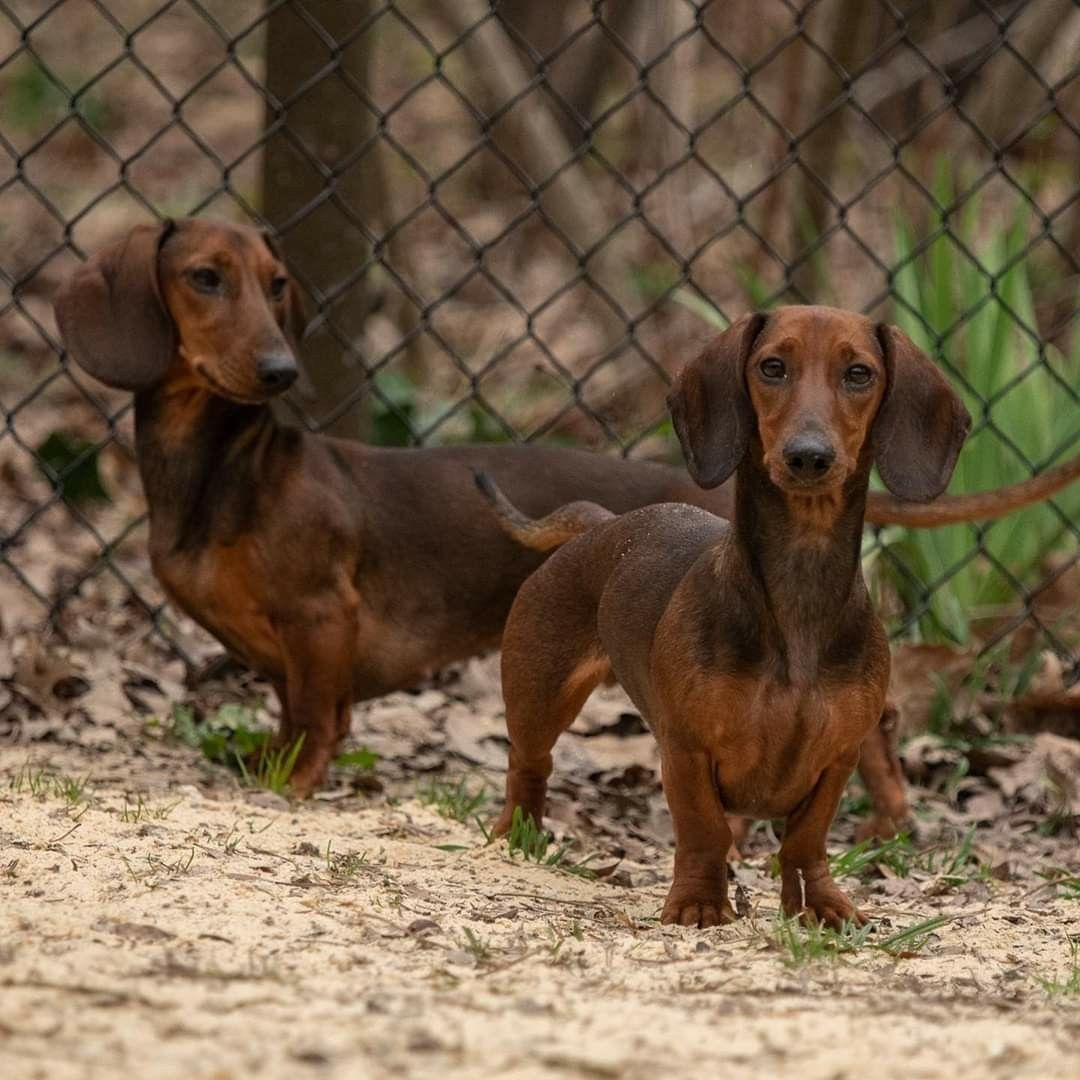 Idea by Tricia Rajer Waugh on Doxies in 2020 Dachshund