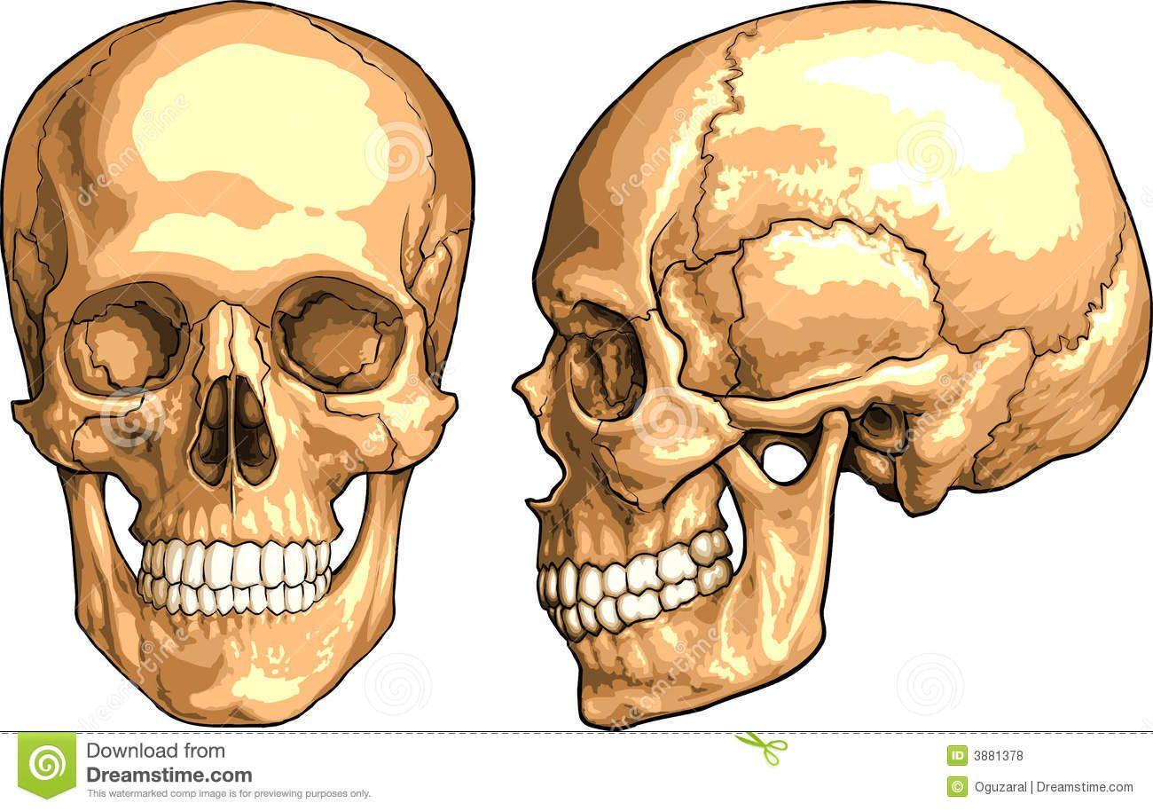 Resultado de imagen de craneo frontal | Aprender a dibujar ...