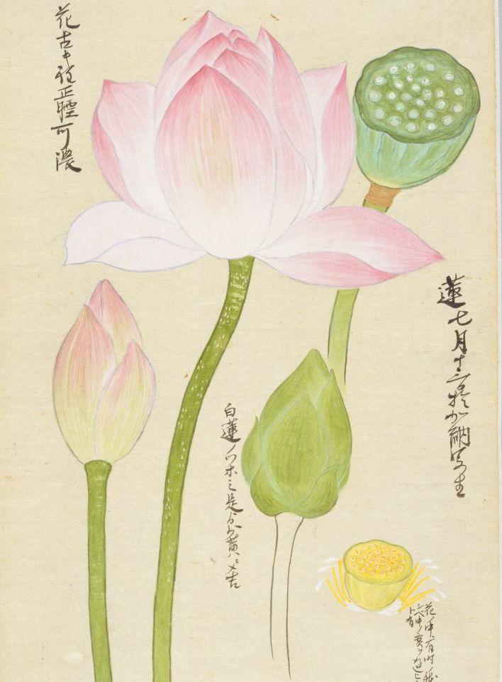 国立国会図書館デジタルコレクション 草木写生 秋 上 蓮の絵 花 描き方 写生