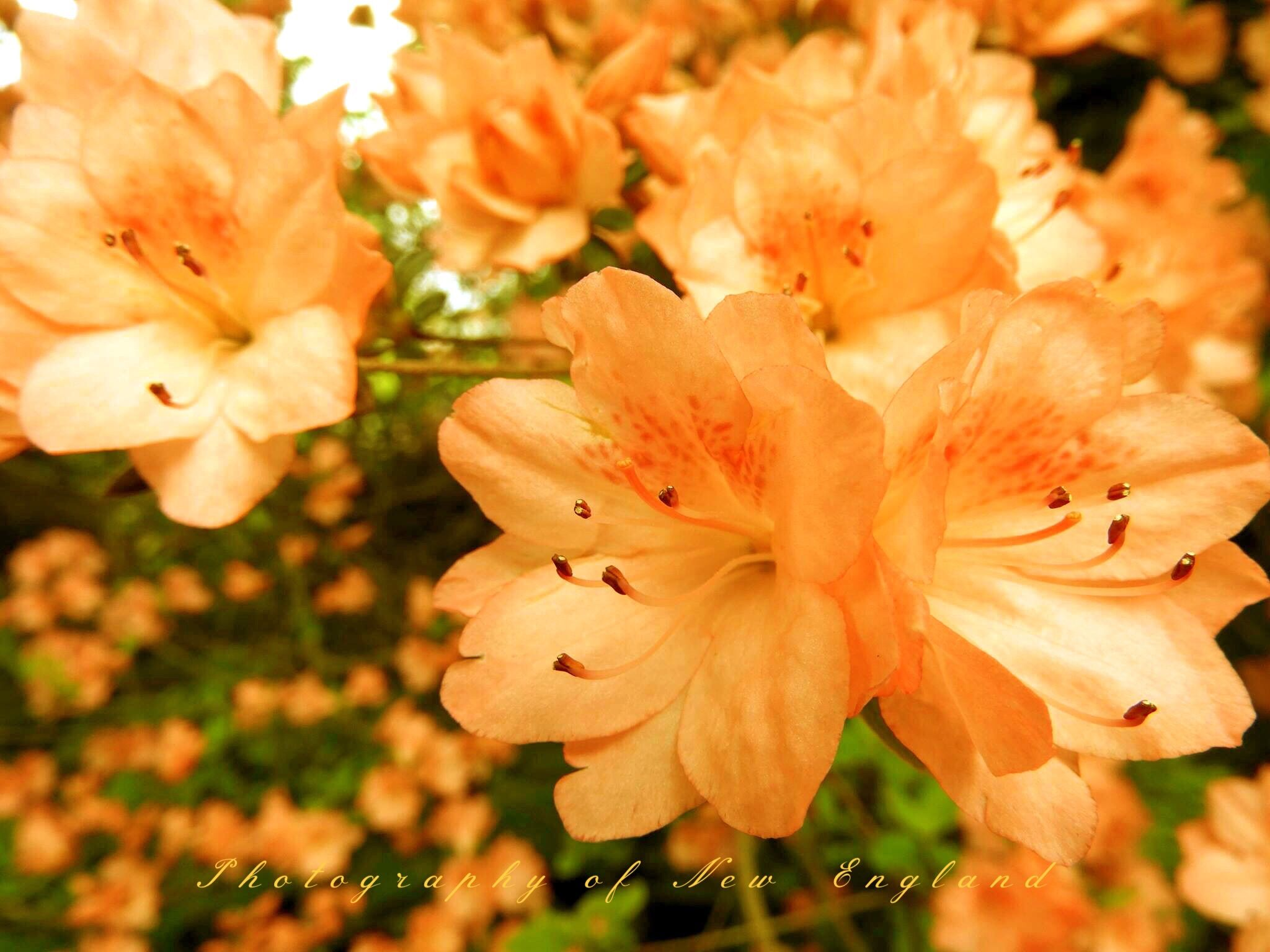 Azalea Nature photography, Flowers