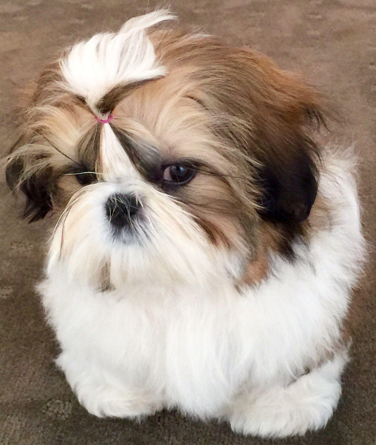 Shih Tzu Audrey Shih Tzu Puppy Shih Tzu Haircuts Shih Tzu