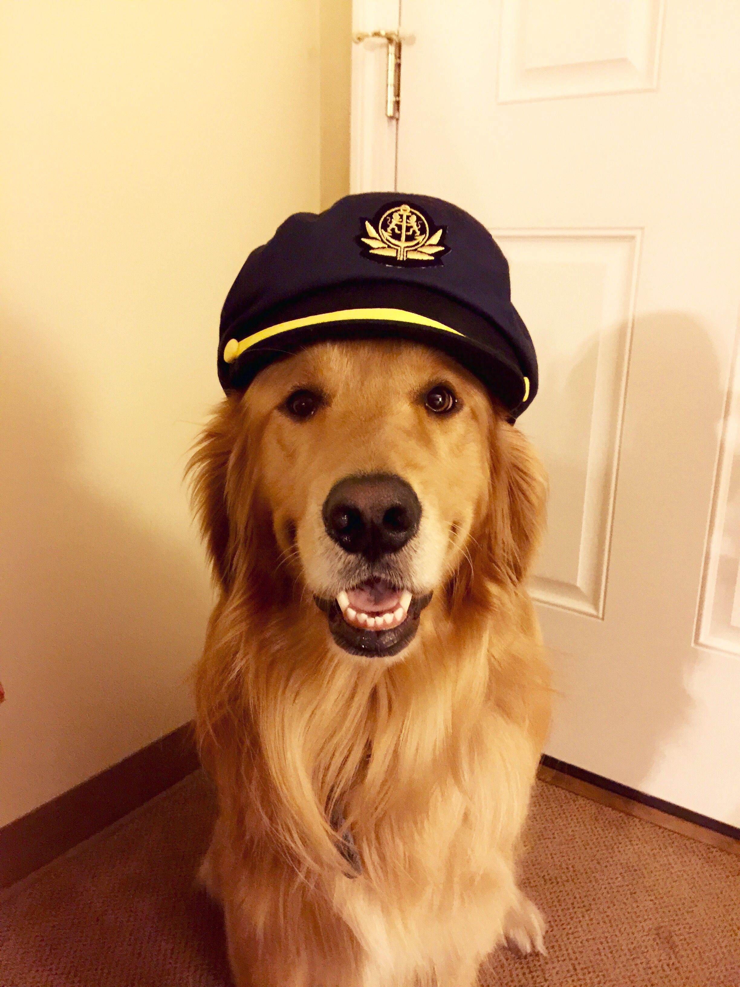 Golden Goldens Golden Retriever Golden Retrievers Retriever Retrievers Golden Retriever Dog Sailors Hat Sailo Dogs Golden Retriever Dog Love Happy Dogs