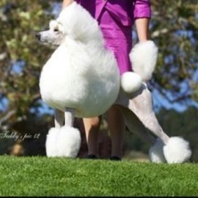 This Magnificent Standard White Poodle Is In The Continental Clip