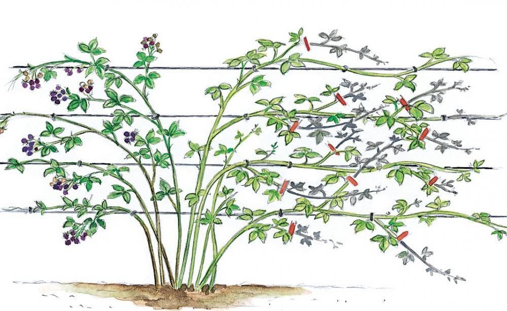 Brombeere - Pflanzen, Pflege Und Tipps | September Garten Im September Pflege Tipps