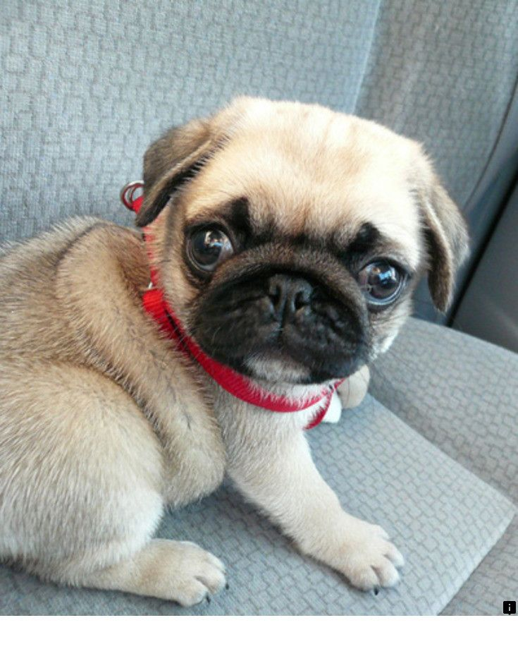 Read about pug puppies for sale near me. Check the