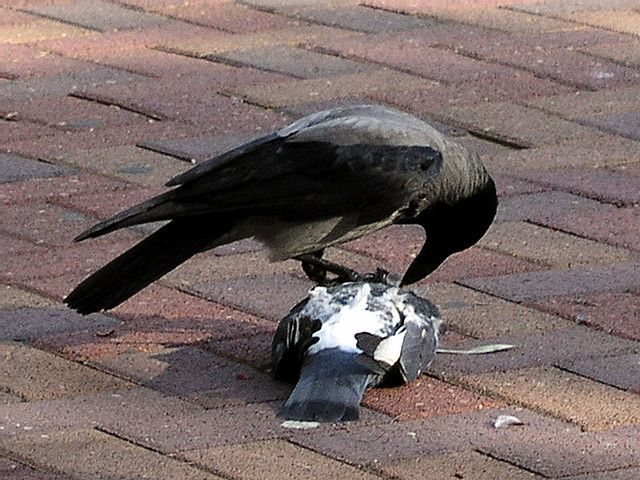 Crow eating a pigeon by Revital9, via Flickr   Raven ...
