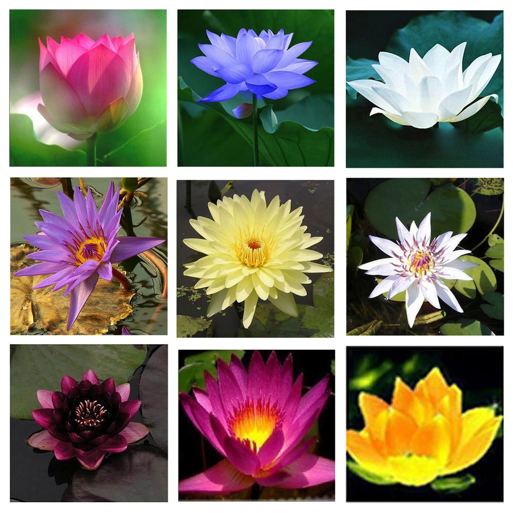 10 Seeds Of Water Lily Mini Small Lotus Hydroponic Flowers Aquarium