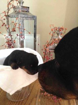 Litter Of 7 Rottweiler Puppies For Sale In Spring Lake Nc Adn