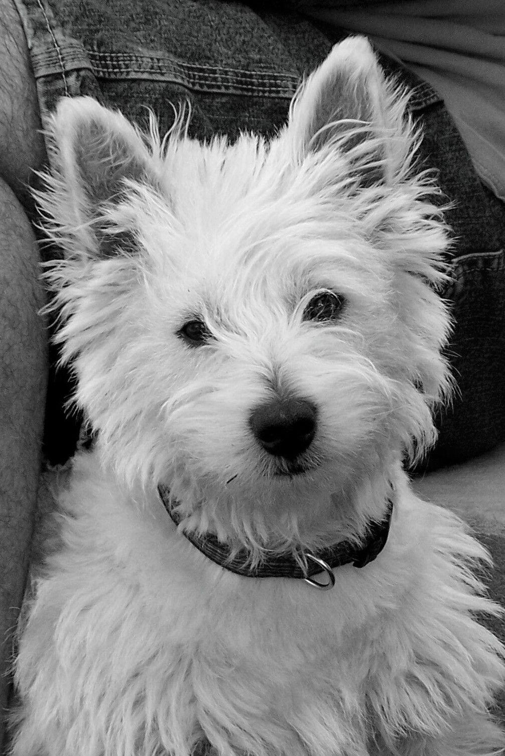 Little Caesar Dog : little, caesar, Mr.MacGregor, Greggie, Breeds,, Westie, Dogs,, Puppies, Kitties