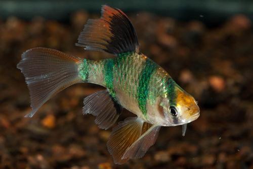 Longfin Tiger Barb Med Puntius Tetrazona Segrest Farms Tropical Fish Aquarium Fish Fish For Sale