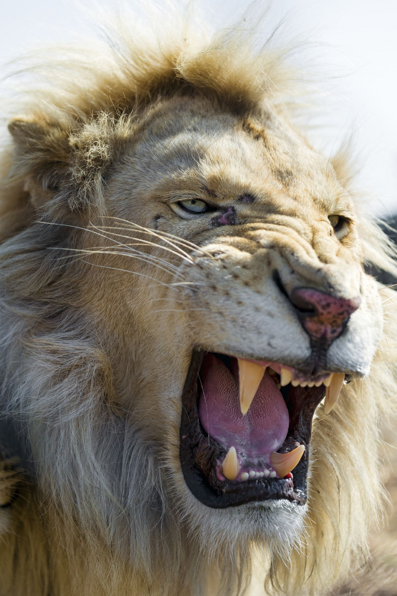 Quite Angry White Lion African Cats White Lion Animals