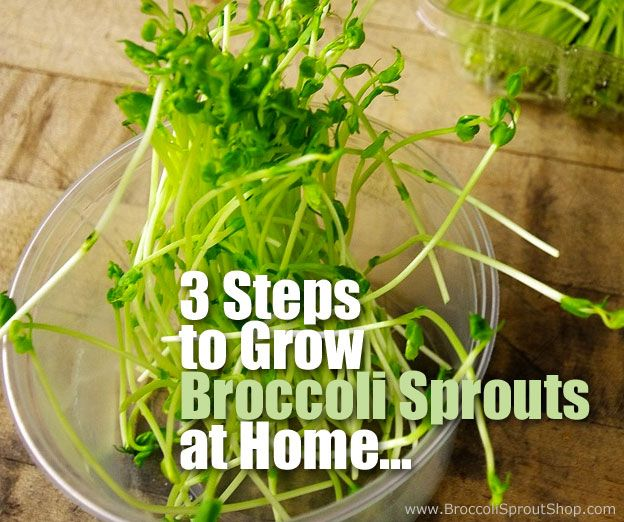 3 Steps On How To Grow Broccoli Sprouts At Home Fresh