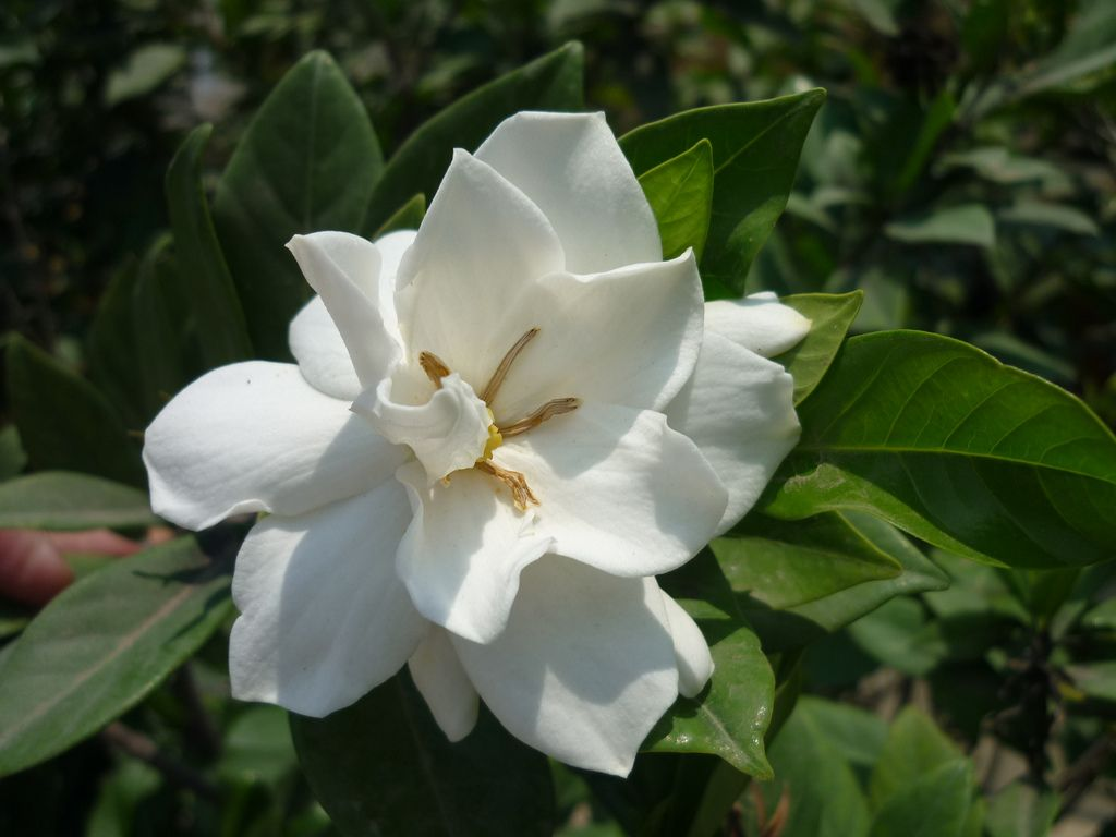 Different Gardenia Types Varieties Of Gardenia Commonly Grown Gardenia Plant Gardenia Shrub Gardenia