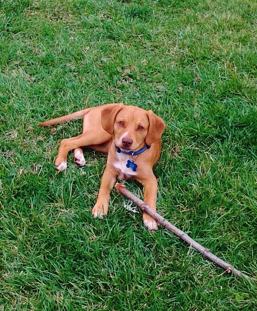 Murphy 6 Months Vizsla Beagle Mix Vizsla Beagle Mix Doggy