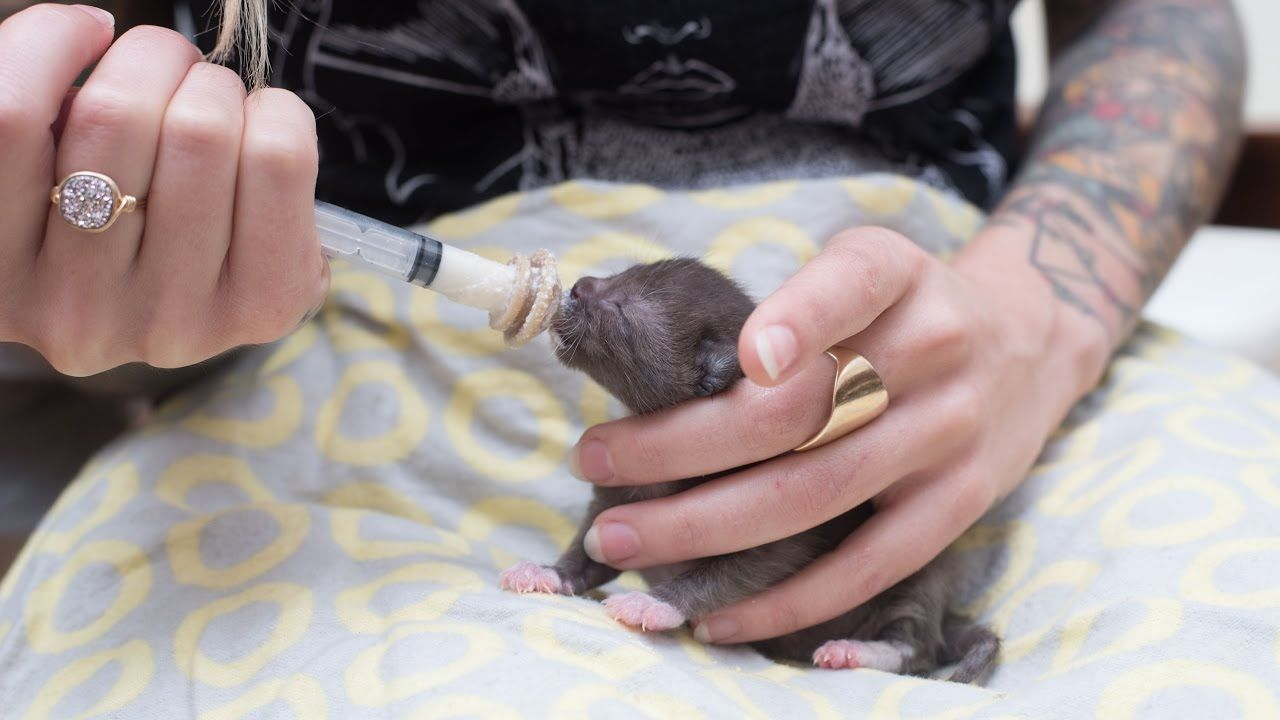 How To Syringe Feed A Newborn Kitten Feeding Kittens Kitten