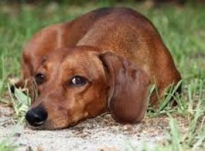 Adopt Sparky Il On Dachshund Dog Dachshund Dog Breeds