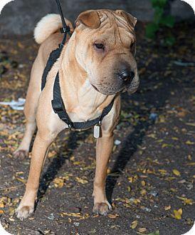 Puppy Shar Pei Pug Mix Belinda Pug Mix Basic Dog Training Pets