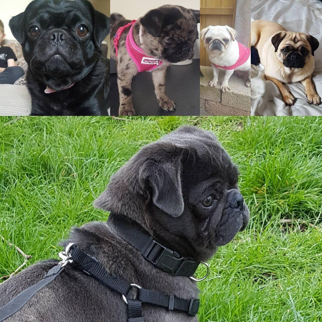 My Pug Pack Pugs Pugdogs Pugsoninstagram Stud My Pug Pack