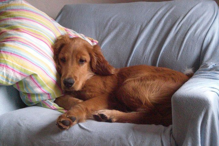 Irish Setter Lab Mix Irish setter, Lab mix, Dogs and puppies