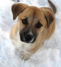 Image Result For Rhodesian Ridgeback Mix German Shepherd Dog