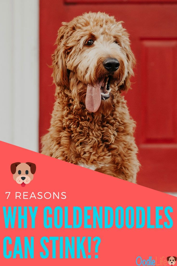 Do Goldendoodles Smell 7 Reasons Your Goldendoodle Stinks All