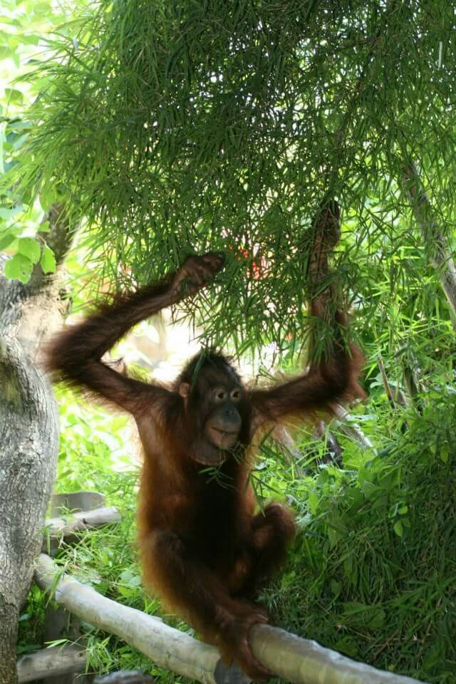 Pin by bhindbikinis on LOVE BALI Animals, Gorilla