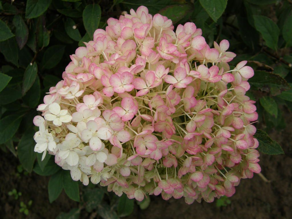 Bobo Panicle Hydrangea Hydrangea Paniculata Bobo Hydrangea Hardy Hydrangea Planting Hydrangeas