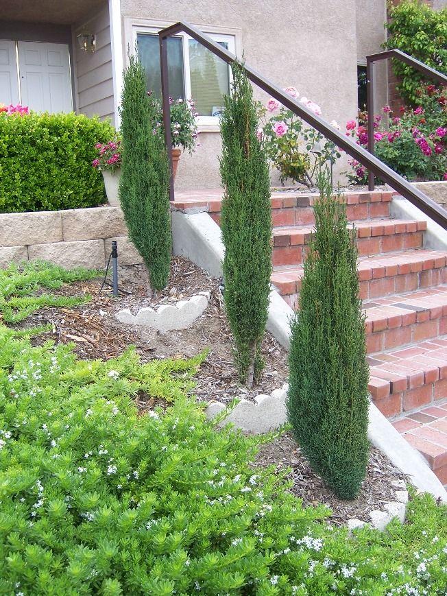 Picture of Live Italian Cypress (dwarf) aka Cupressus semp. 'Dwarf' Plant Fit 5 Gallon Pot