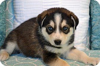 Hagerstown Md Siberian Husky Labrador Retriever Mix Meet
