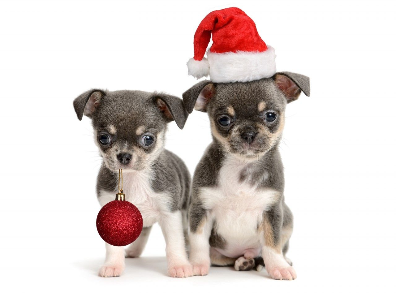 Chihuahua christmas day merry christmas card puppy holiday for Christmas pictures of baby animals