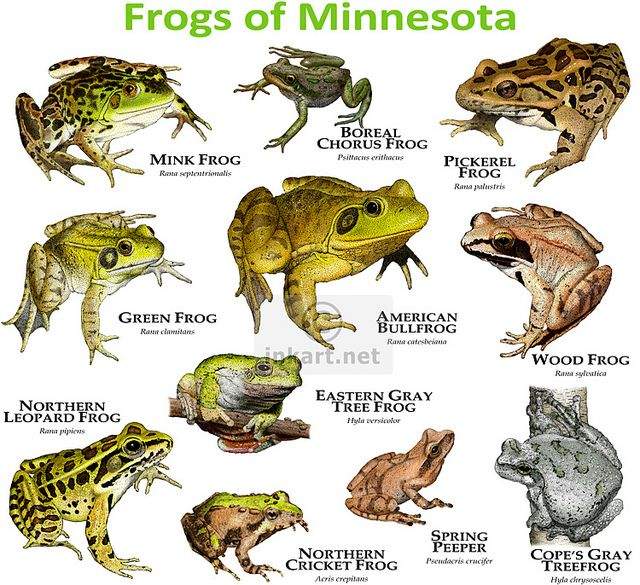 Frogs Species of Minne...