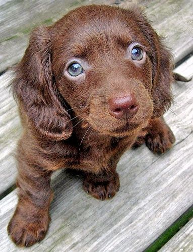 Chocolate Long Haired Miniature Dachshund A Friend For Pony