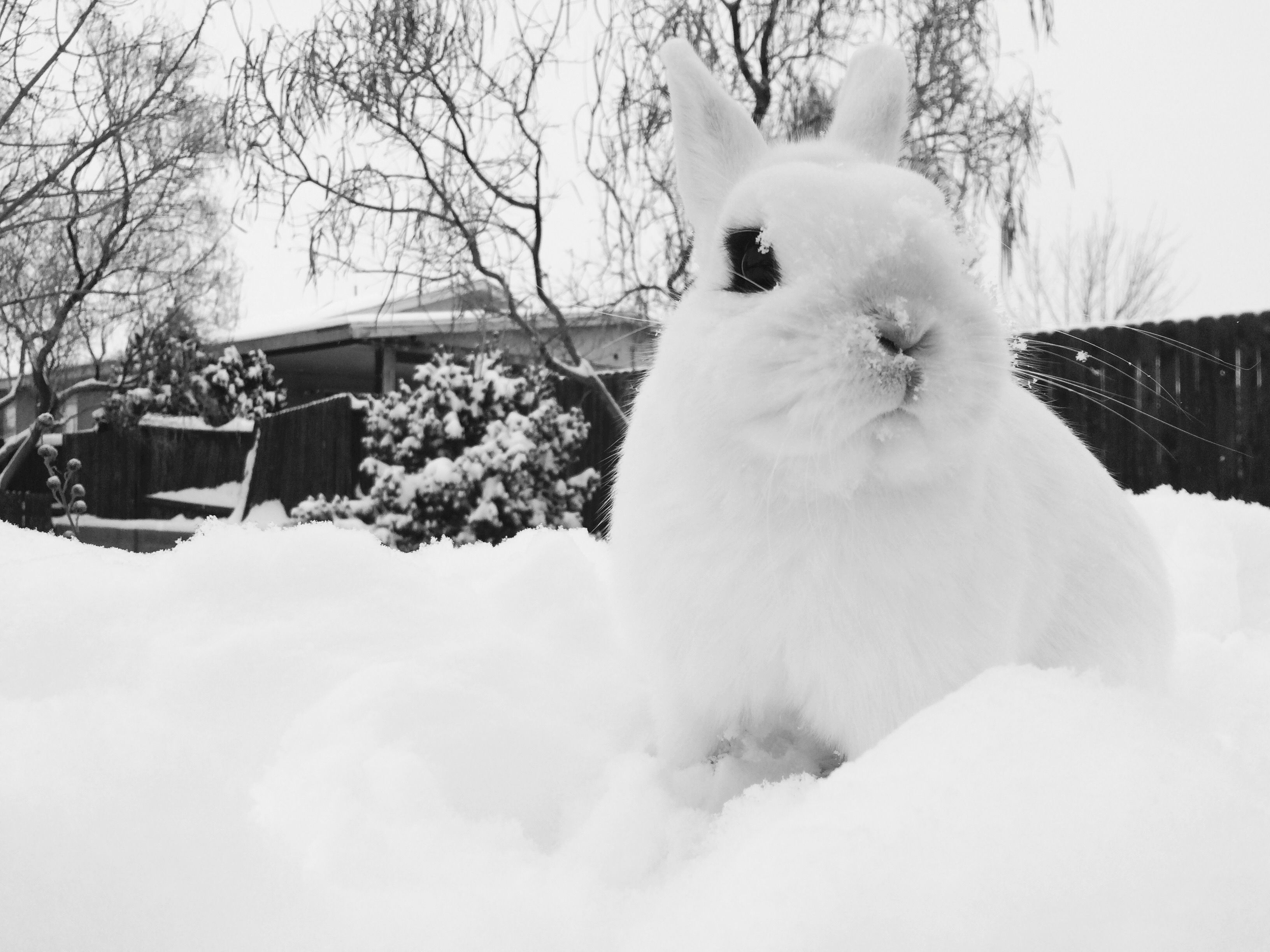 This is max! He is my dwarf hotot!