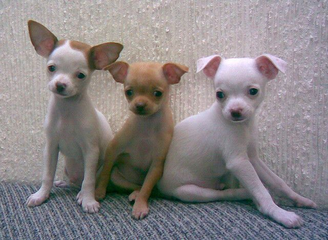 Macho Dog Names For Male Chihuahuas Maltese And Other Tiny Dogs