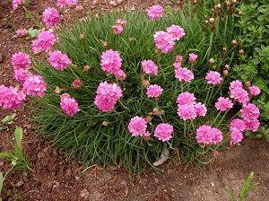 Многолетники цветущие все лето: фото с названиями цветов ...