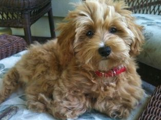 Maltipoo ommmgg this one is so cute!!! Animal love