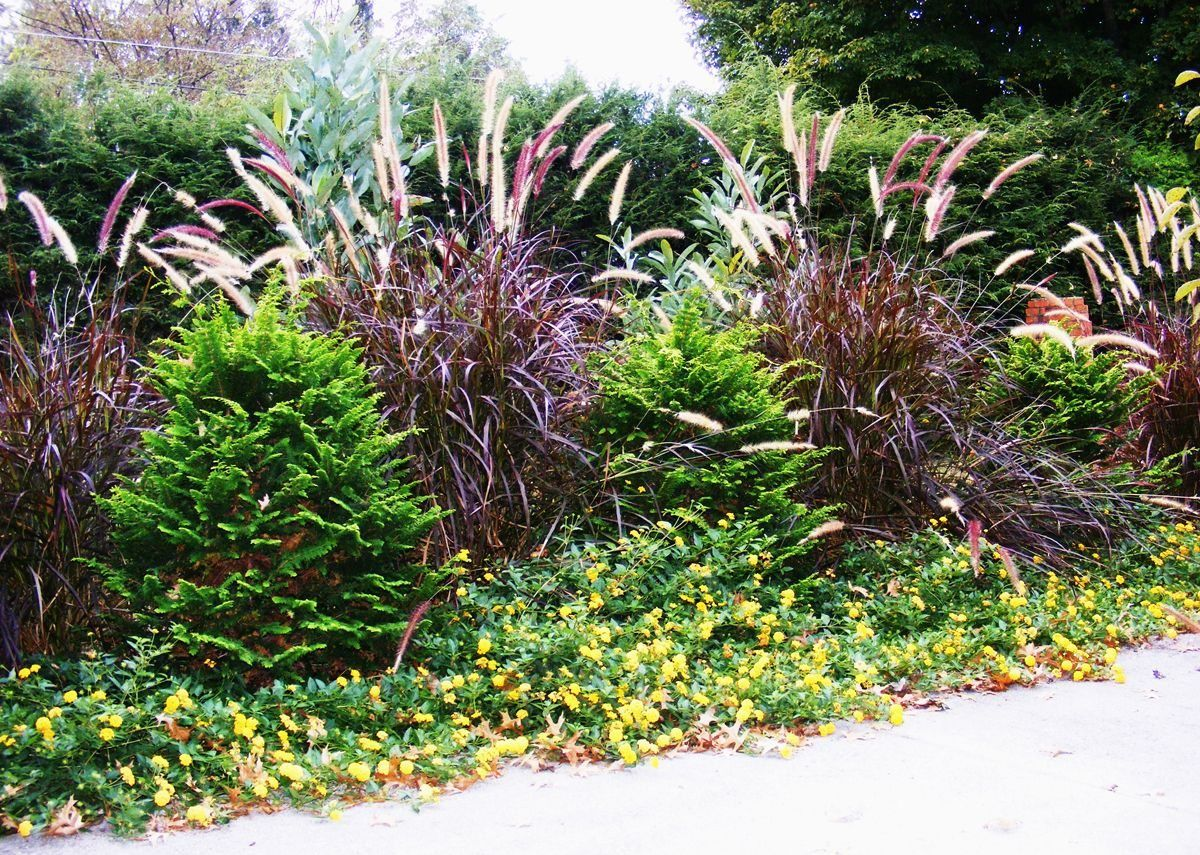 Garden With Lantana Plants And Purple Fountain Grasses ...