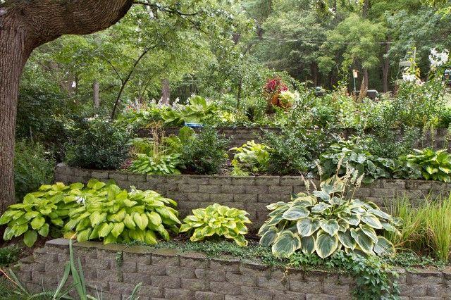 'Summer Breeze' H. - Hosta Forum - GardenWeb