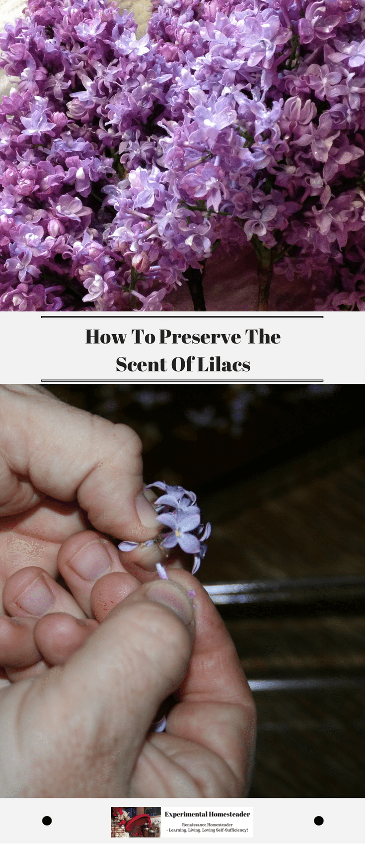 How To Preserve The Scent Of Lilacs Experimental Homesteader Lilac Scent Lilac Oils Lilac Essential Oil