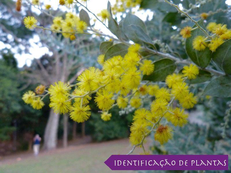 Acacia Mimosa Acacia Podalyriifolia Identificacao De Plantas