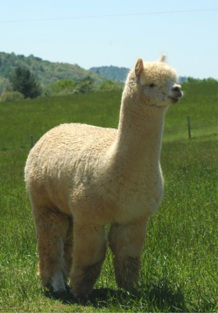 Pin On Alpacas