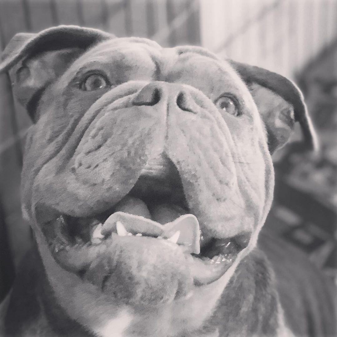 Boschhundefutter Oldbulldogs Degersheim Oldenglischbulldogge Schweiz