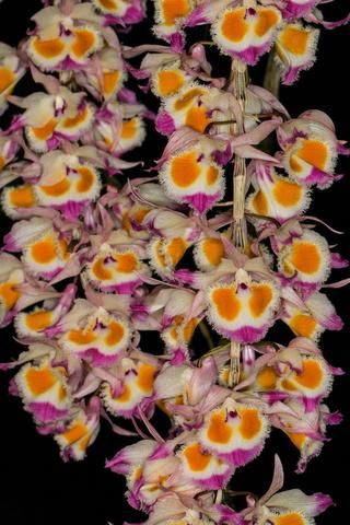 Dendrobium Devonianum Orchids Orchidaceae Flowers