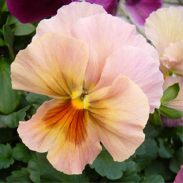 A Lovely Pansy And A Post On Languages Read More Pansies Flowers Flowers Pansies