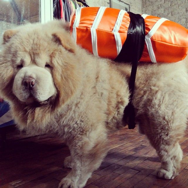 Froyo The Sushi 1 Chow Chowchow Dog Dog Halloween Costumes Pets