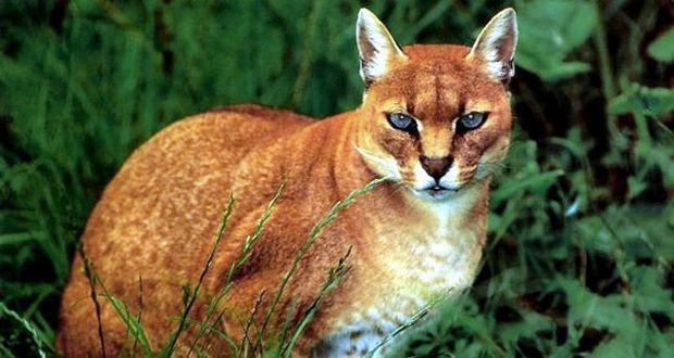 Kucing Emas Afrika Tazesiru Cats House