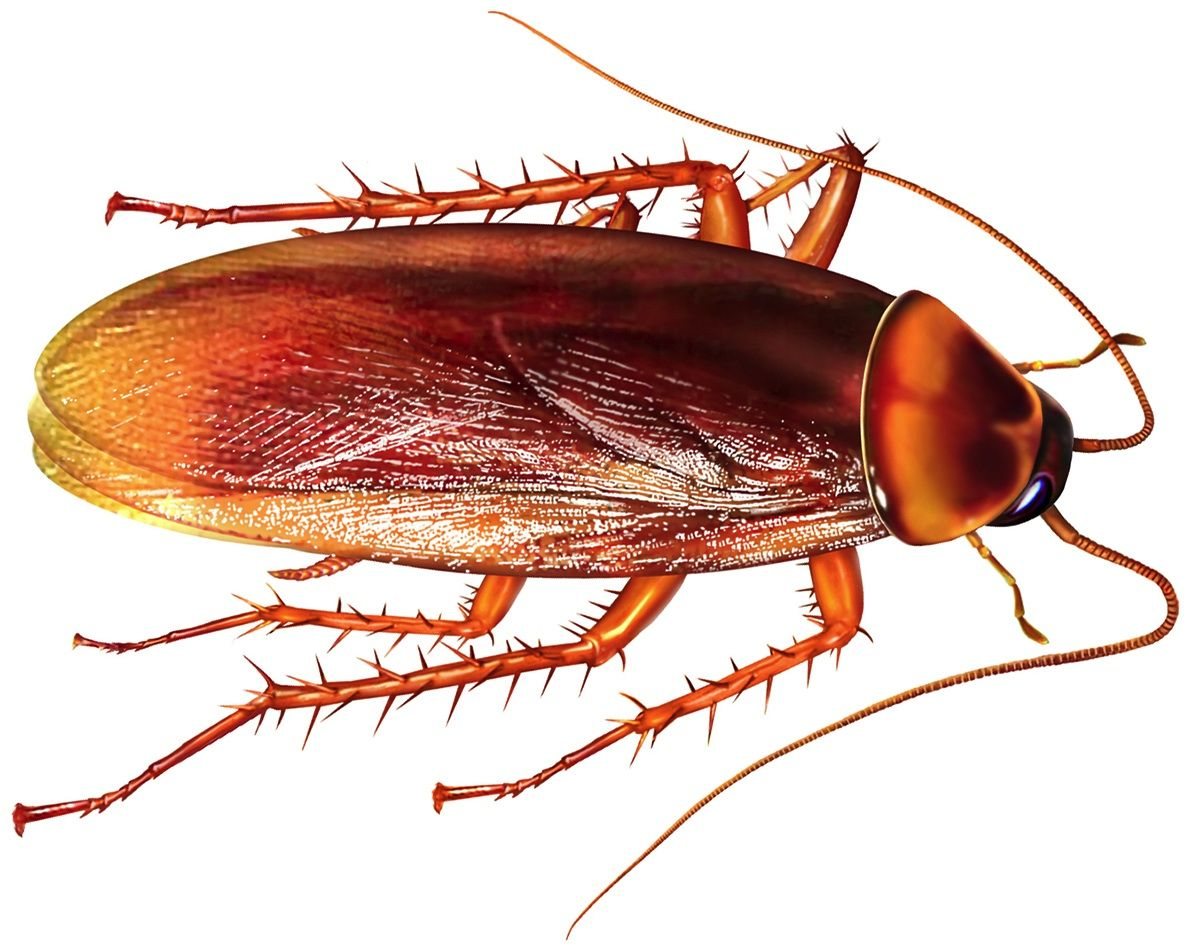 Bugs That Look Like Roaches Kill Roaches Pest Control