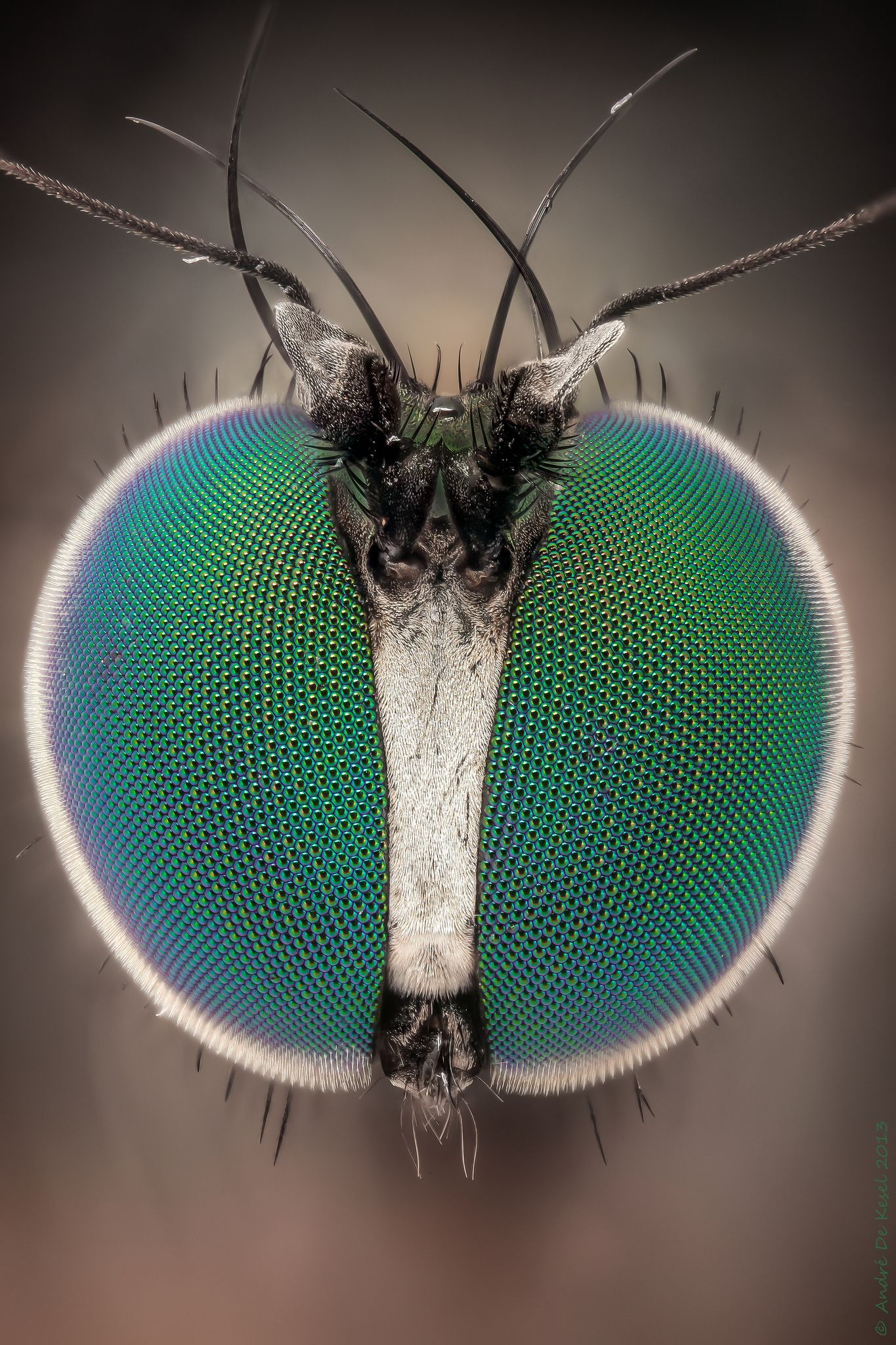 long legs and green eyes all things insects insect eyes bugs insects insects. Black Bedroom Furniture Sets. Home Design Ideas