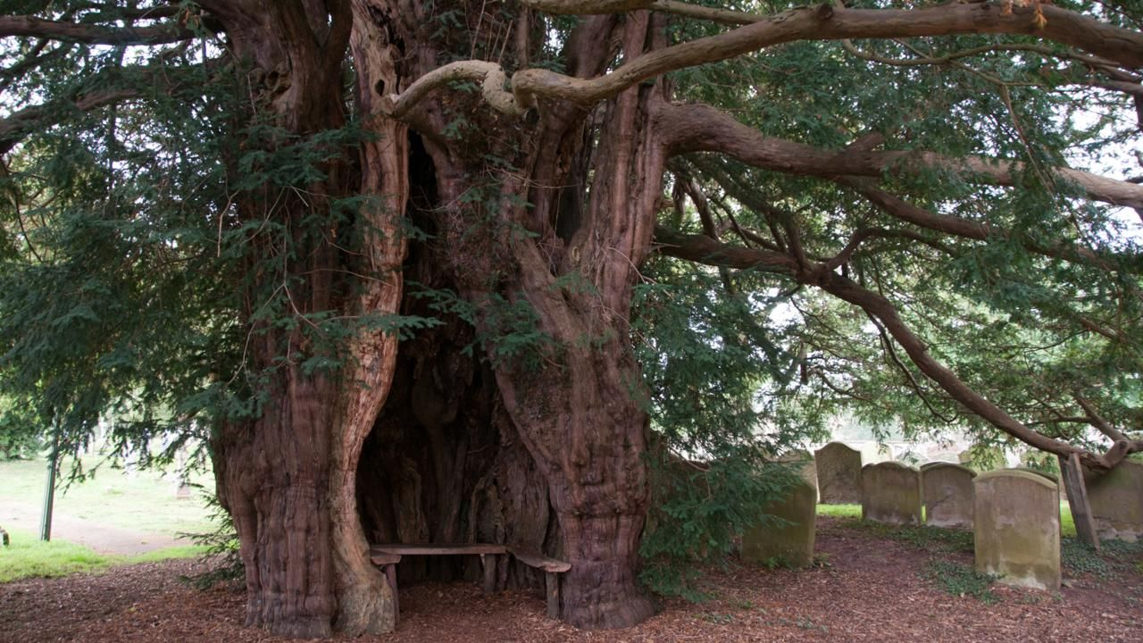 11 of britains most legendary trees tree trees to