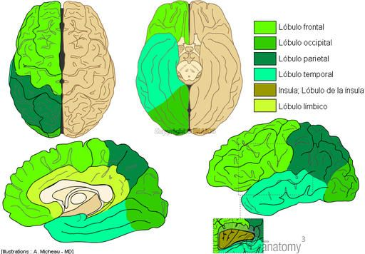 Neuroanatomía : Lóbulos cerebrales : Lóbulo frontal, Lóbulo parietal ...